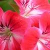 Geranienblüten