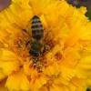 Biene auf Futtersuche