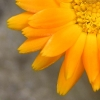 Fliege auf Calendulablüte