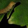 毛毛虫在葡萄叶子上