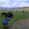 第一些牦牛